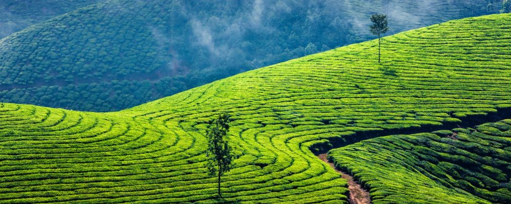 The Development of Sri Lanka Tea Farms