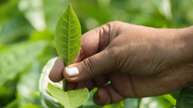 PIONEERING INDIGENOUS ASSAMESE TEA PLANTERS