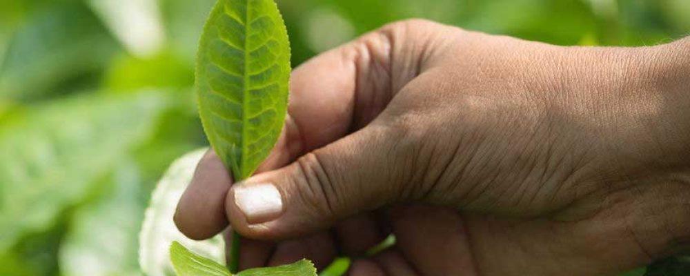 PIONEERING INDIGENOUS ASSAMESE TEA PLANTERS