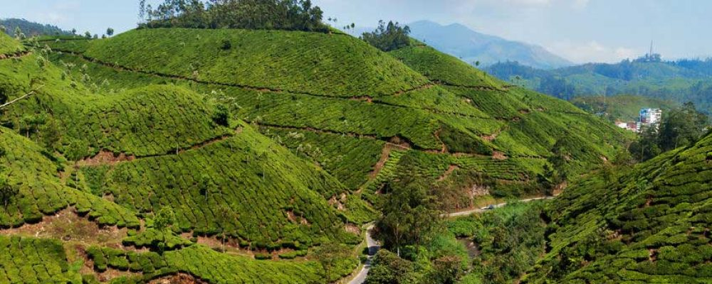 Severe Drought Hits Southern Indian Tea Plantations 2017