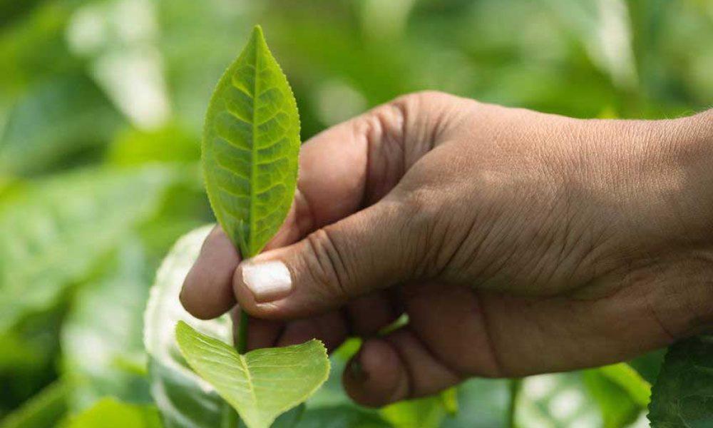 tea estates Assam