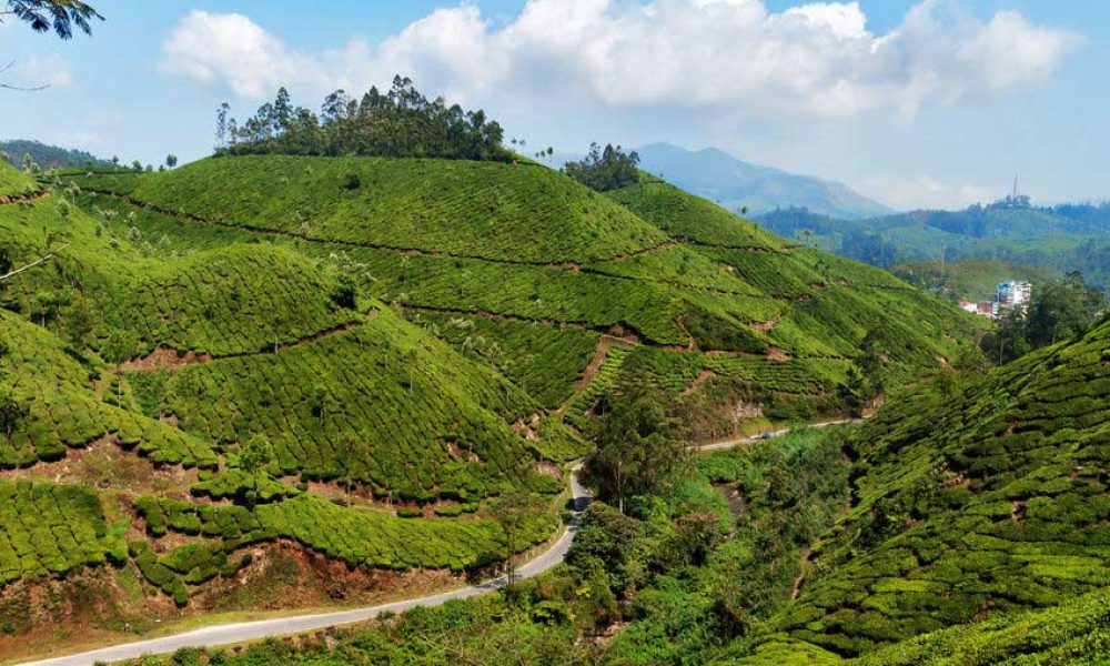 Severe drought - Kerala Tea Production