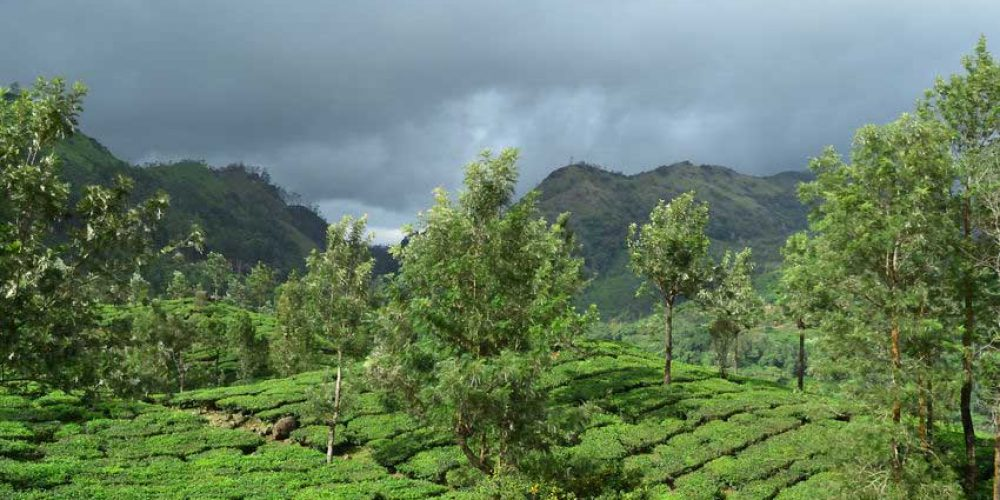 Six Effects Weather has on Your Tea